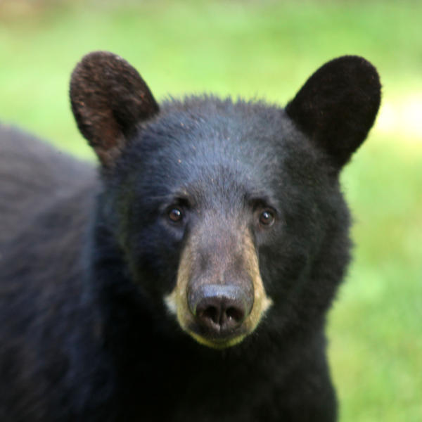 What will it be? (File photo of a black bear in Massachusetts, not the bar-hopping bruin in Colorado.)
