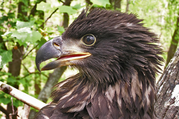 A bald eagle nestling won't gain its pale plumage and fully-yellow beak for four or five years.