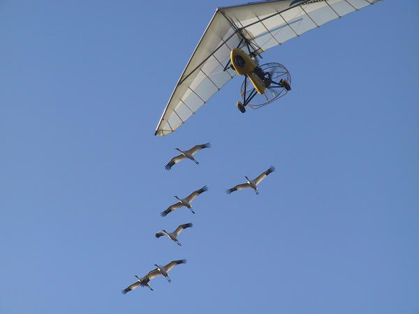 All the whooping cranes studied by the University of Maryland team received the same initial flight training as chicks, following an Operation Migration ultralight from Wisconsin to Florida in the fall. The <em>Science </em>study looked at data on their subsequent migrations — without the plane — beginning with the following spring.