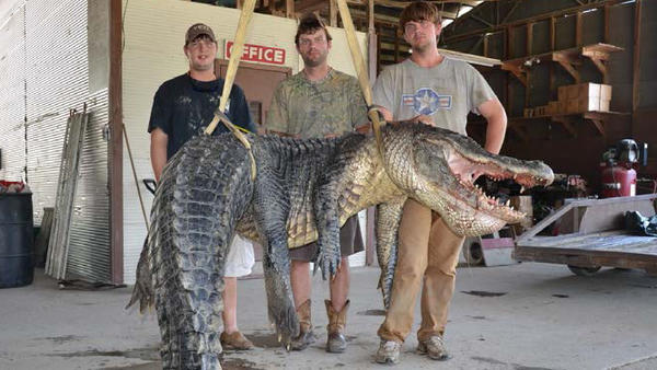 Dustin Bockman of Vicksburg, Miss., and his hunting party pose with a 727-pound alligator they took from a river near the Mississippi River. The gator is 13 feet, 4.5 inches long, and its belly is 67 inches.