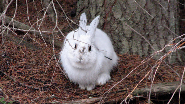 A white snowshoe hare against a brown background makes the animal easy prey.