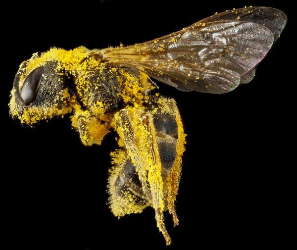 Halictus ligatus, female, covered in pollen from an unknown plant, Morris Arboretum, Philadelphia