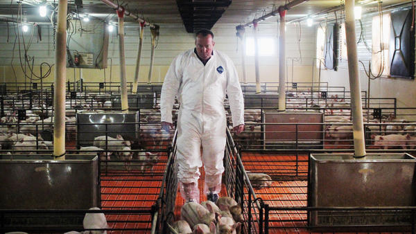 Craig Rowles raises pigs near Carroll, Iowa. The piglets will enter and leave this room as a group.