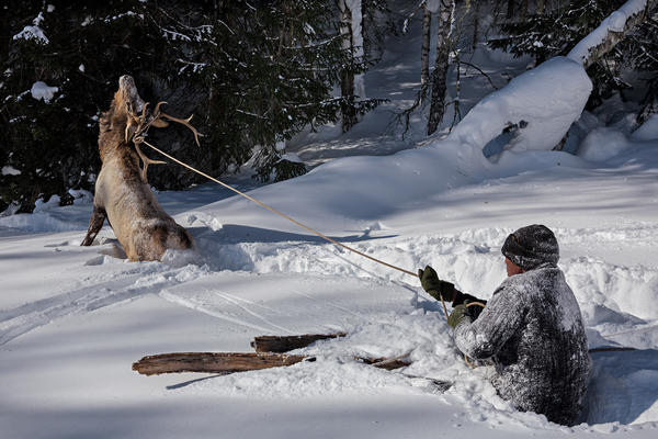 A lassoed elk struggles after Serik demonstrates the age-old technique of capturing game in deep snow.