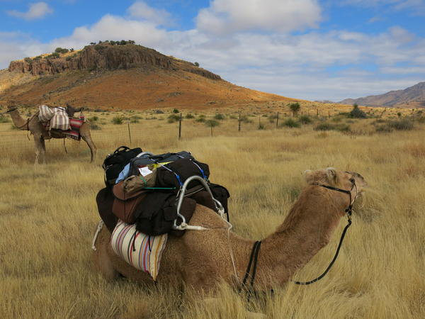 The camel trek guides insist everything Americans think they know about camels is wrong.