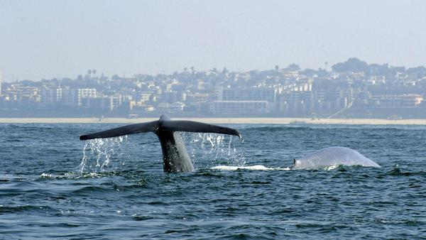 A diving whale off the coast of Southern California near the Los Angeles suburb of Palos Verdes in 2010.