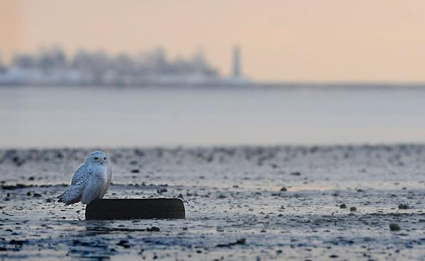 Perched upon a car tire in a clam flat at Long Wharf in New Haven on December 15, 2013, a young male Snowy Owl scans its surroundings. In the background is Five Mile Point light in New Haven harbor. (Matt Messina/WNPR)