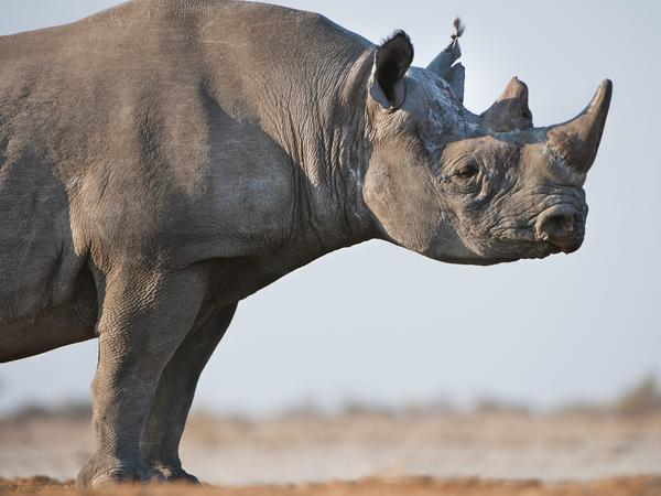 A black rhino in Namibia's Etosha National Park.