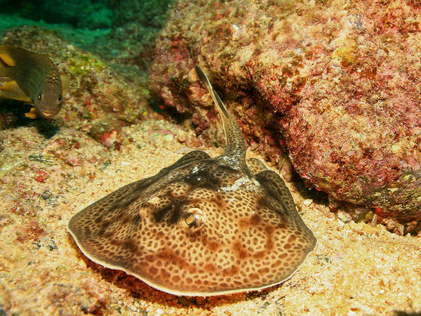 The round stingray is native to the eastern Pacific coast and is notorious for injuring swimmers and surfers.