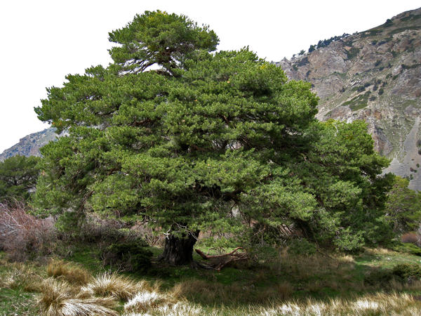 The world's biggest trees, such as this large Scots pine in Spain's Sierra de Baza range, are also the world's fastest-growing trees, according to an analysis of 403 tree species spanning six continents.