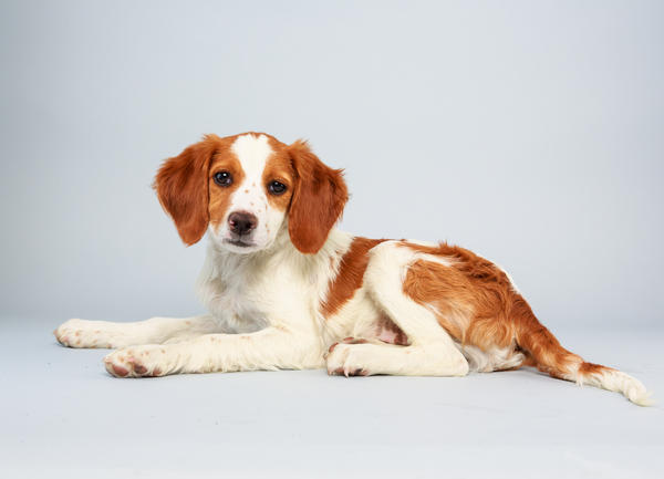 Laney <strong>Age:</strong> 13 weeks <strong>Breed:</strong> Brittany spaniel mix <strong>Fact:</strong> Wants to catch a ride on one of those NASA Mars rovers.