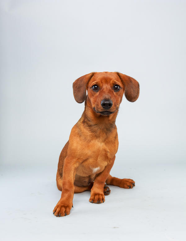 Mandy <strong>Age:</strong> 17 weeks <strong>Breed:</strong> Dachshund hound mix <strong>Fact:</strong> Thinks long legs are overrated.