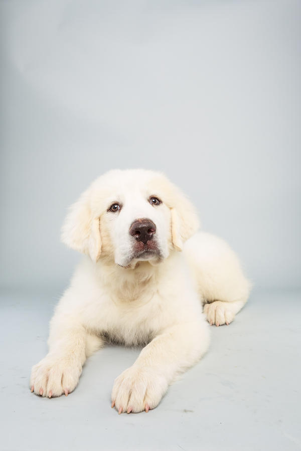 Shyla<strong> Age:</strong> 14 weeks <strong>Breed:</strong> Great Pyrenees <strong>Fact:</strong> Loves to snowboard.