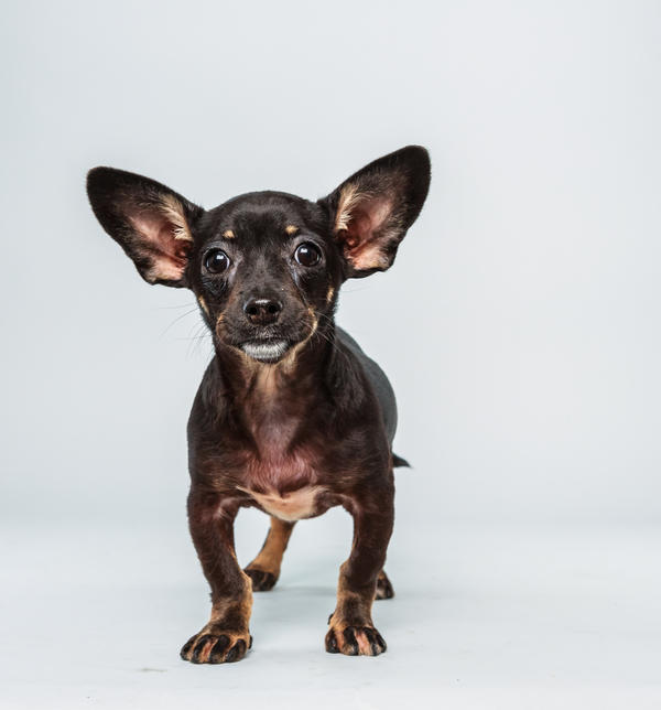 Ullie <strong>Age:</strong> 12 weeks <strong>Breed:</strong> Chihuahua dachshund mix <strong>Fact:</strong> Hates all those <em>Rocky</em> sports cliches about Philadelphia.