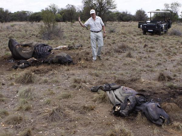 In this photo taken in November 2012, Miles Lappeman, owner of Finfoot Lake Reserve near Tantanana, South Africa, walks past the carcasses of a rhino and its calf. Poachers killed the animals for their horns.