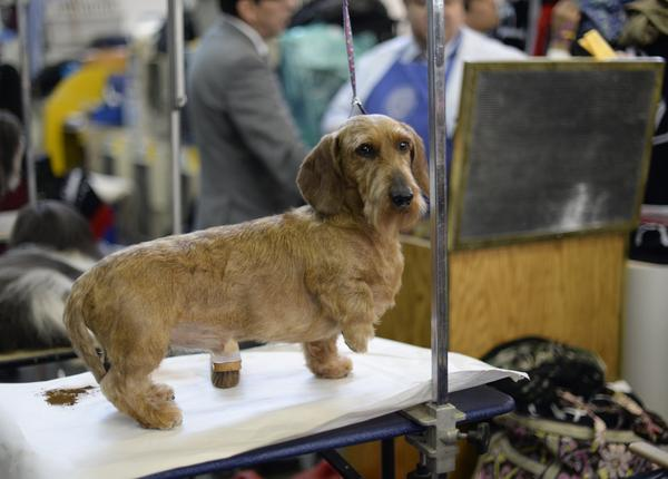 A Long haired dachshund looks poised and ready in the benching area.