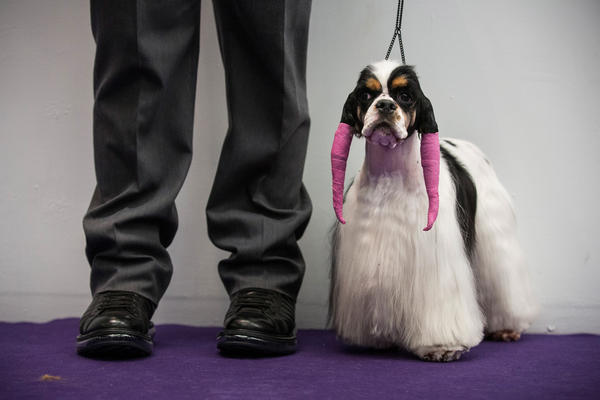 A cocker spaniel is primped and waiting to compete.