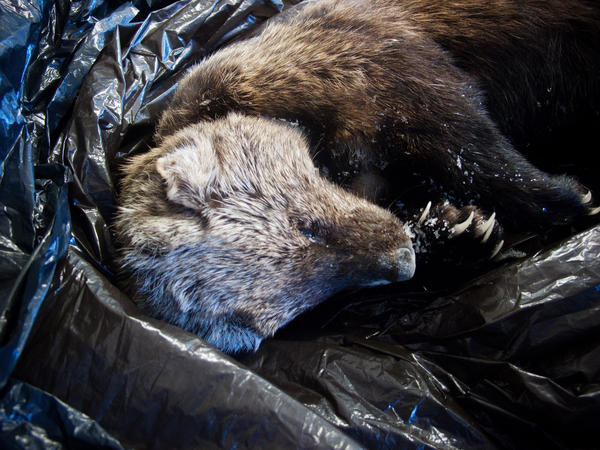 This male fisher was found dead near Yosemite National Park. Tissue samples confirmed the animal was killed by rat poison.