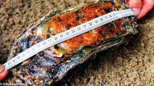 Even if you ignore the giant oyster's size, its rich patina and rippling layers hint at its age, estimated at 15-20 years old.