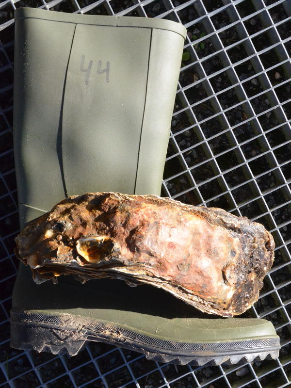 It's alive: At nearly 14 inches long, this oyster has been certified as the world's largest. It's also around the same size as a man's size 10-1/2 or 11 shoe here in the U.S.