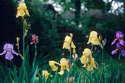 Irises in Eudora Welty's garden. (Eudora Welty House)