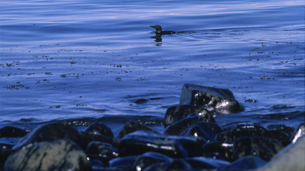 An oiled murre passes the darkened shoreline near Prince William Sound, Alaska, less than a month after the March 1989 spill.