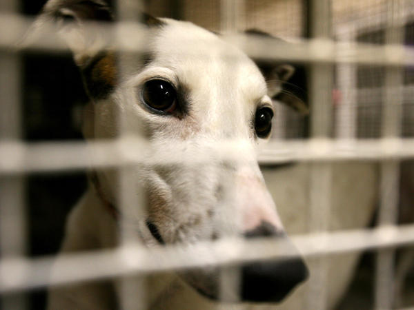 Concerned over animal treatment, the Humane Society of the United States and others support a Florida bill that would reduce the number of tracks racing greyhounds. Others say abuse is rare, and even hurts the owners' chances of winning a race.