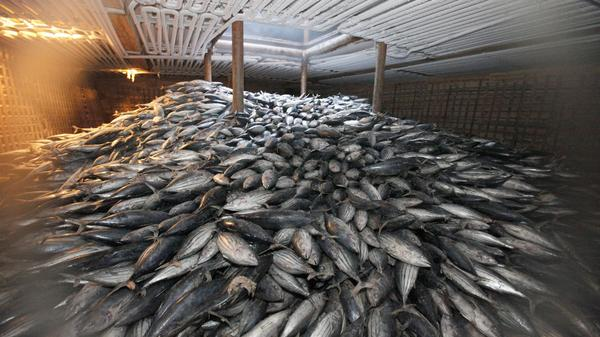 "Frozen tuna in the hold of the Chinese ship ""Heng Xing 1"" in an area of international waters near the exclusive economic zone of Indonesia, 14 November 2012."