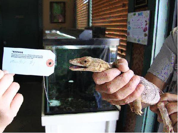 One of two live desert monitor lizards that Donald Schultz, former Animal Planet host, sold to an undercover agent.