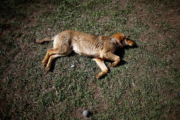 Sandy lies in the sun after playing catch in the backyard of the Nowzad Dogs compound and animal shelter in Kabul.