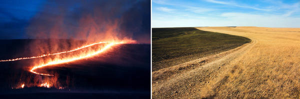Many ranchers burn at night, when the winds die down. Within days, new green grass appears.