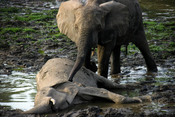 When Ele, a female elephant, died, other elephants approached one-by-one and touched their trunks to the body. This behavior is associated with mourning, field researchers say.