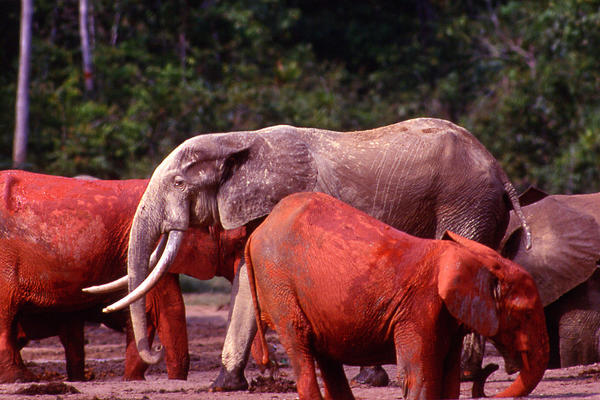The elephants coat themselves in red clay. It is believed they do this either to cool themselves off or as a reaction to the annoyance of parasites of the skin.