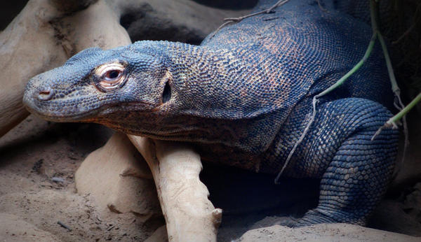 A Komodo dragon is pictured at the St. Louis Zoo (Poppet Maulding/Flickr)
