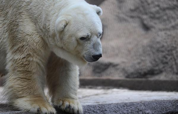 "Arturo, the only polar bear in Argentina, lives in captivity at a zoo in Mendoza. The plight of the ""sad bear"" has spawned more than 400,000 signatures on a petition to get him moved to a ""better life"" in Canada."