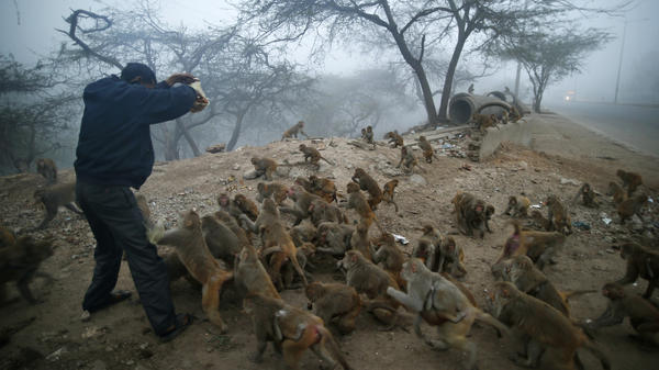 Monkeys mob a devout Hindu man with a packet of biscuits in New Delhi on Jan. 30. Hindus believe that feeding monkeys brings them the blessings of the Hindu monkey god, Hanuman.