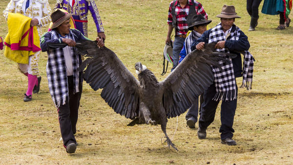 The giant condor, which has a wingspan of up to 10 feet, is brought into the ring before being tied to the bull.