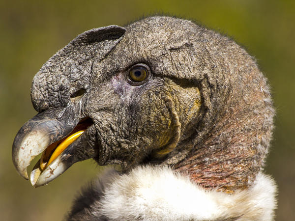 An estimated 600 to 1,000 condors remain in Peru, and their numbers are declining.