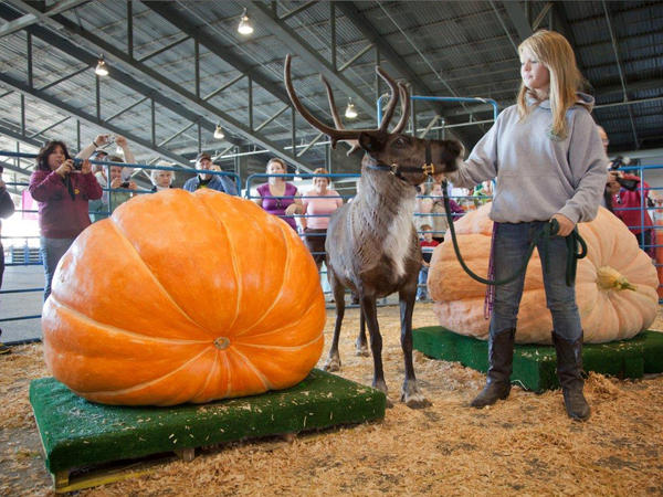 Ashleena Roberts holds a reindeer for scale next to a pumpkin in the Alaska State Fair giant pumpkin contest.