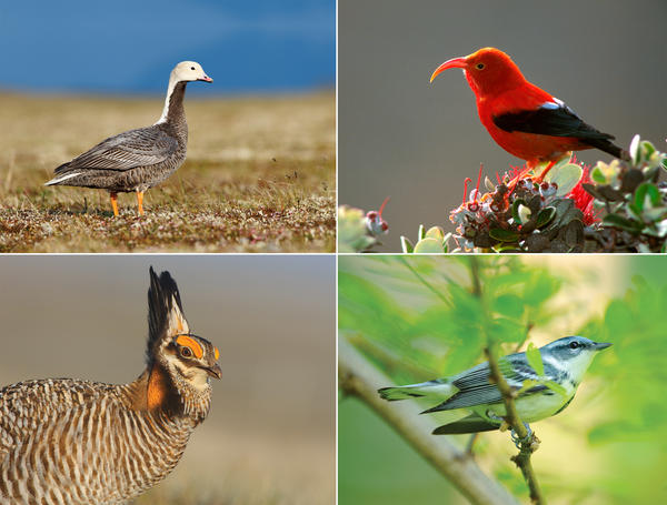 Many populations of America's birds are in steep decline, including the emperor goose (top left), the ʻi'iwi (top right), the greater prairie chicken (bottom left) and the Cerulean Warbler (bottom right).