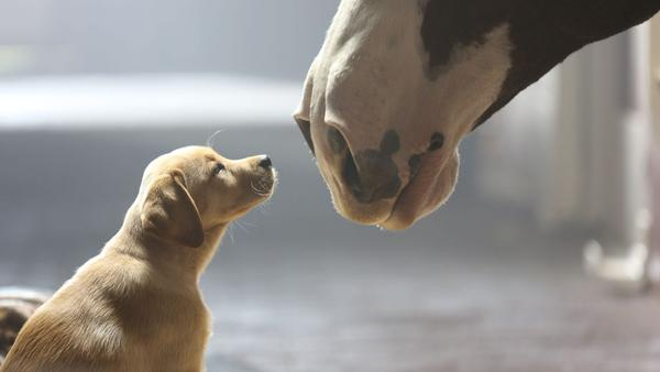"""Anheuser-Busch's 2014 Super Bowl commercial was titled """"Puppy Love."""" The company is one of several big sponsors that have expressed concern with the NFL."""