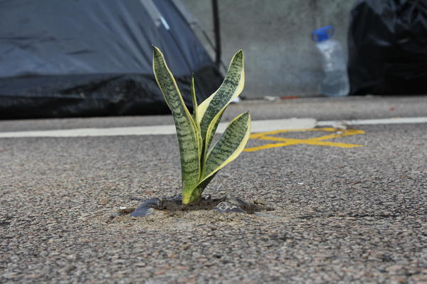 Like Hong Kong, the camp is intensely urban, but some protesters have tried to add a touch of green on Harcourt Road.
