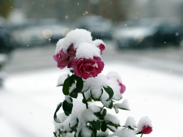 Flowers still bloom through the snow in Denver as winter's first calendar day is still more than a month away.