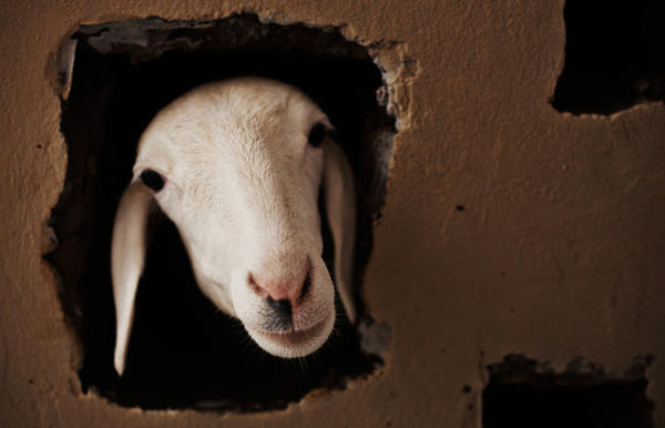 The photographer thought it was a goat. The photo editor thought it was a goat. Sure looked like a goat to the author of this post. It turns out to be a sheep, in Dakar, Senegal.