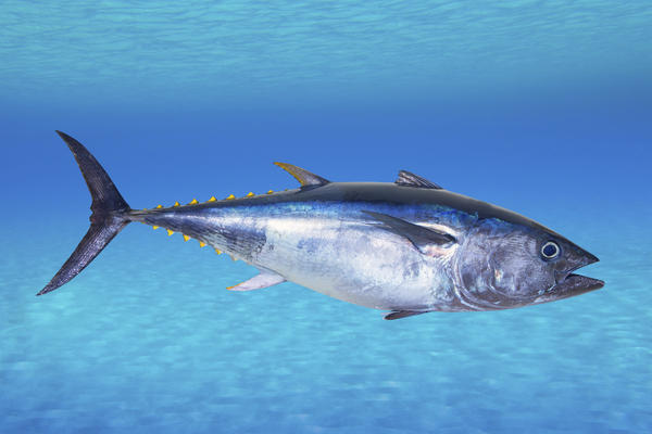 """The IUCN <a href=""""http://www.iucnredlist.org/details/21860/0"""">says</a> the Atlantic bluefin tuna is endangered. Its stocks have declined globally between 29 percent and 51 percent over the past 21 to 39 years, according to the conservation group."""