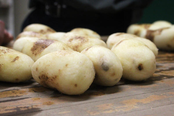 After a turn in the tumbling machine, these conventional russet Burbank potatoes are starting to show signs of bruising. New GMO potatoes called Innate russet Burbanks have been bred not to bruise as easily as these.