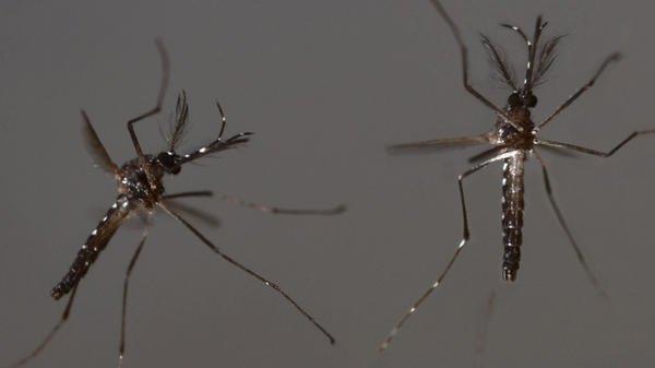A couple of male, genetically modified <em>Aedes aegypti </em>mosquitoes take flight.
