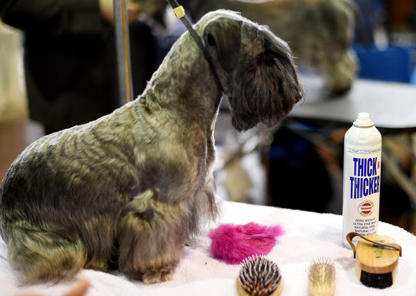 A SealyhamTerrier waits in the benching area at Pier 92 and 94 in New York City on the 2nd day of competition at the 139th Annual Westminster Kennel Club Dog Show February 17, 2015. (Timothy A. Clary/AFP/Getty Images)