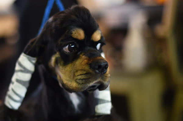 A Spaniel waits in the benching area at Pier 92 and 94 in New York City on the 2nd day of competition at the 139th Annual Westminster Kennel Club Dog Show February 17, 2015. (Timothy A. Clary/AFP/Getty Images)