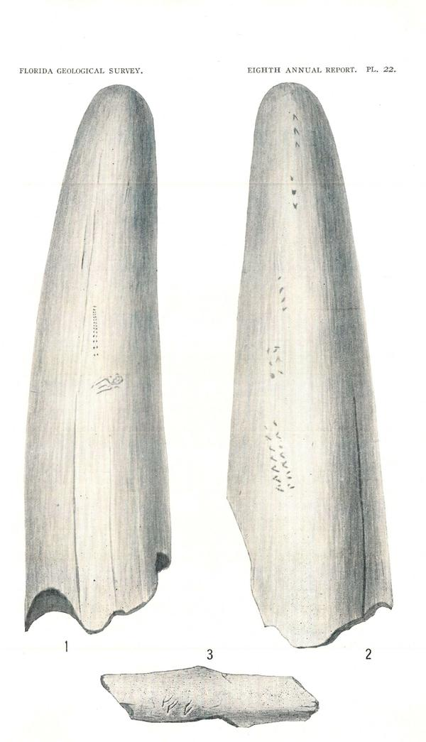 In Sellards' 1916 Florida Geological Survey report, markings suggest evidence of humans. Figs. 1-2 show engravings on a tusk from the Pleistocene of Florida. It's likely a lower, probodoscidian tusk of <em>Mammut americanum. </em>Fig. 3 is a bird bone fragment with markings.